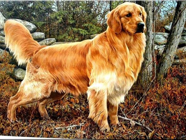 Cách huấn luyện chó chó golden sẽ ở độ tuổi ở 8 tuần